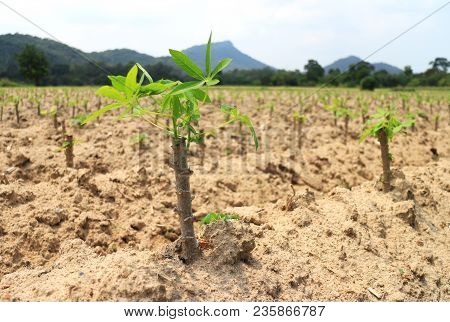 Plantation Of Young Cassava Tapioca In Thailand