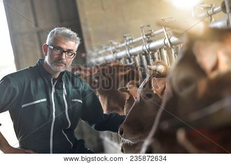 Farmer in barn checking on livestock