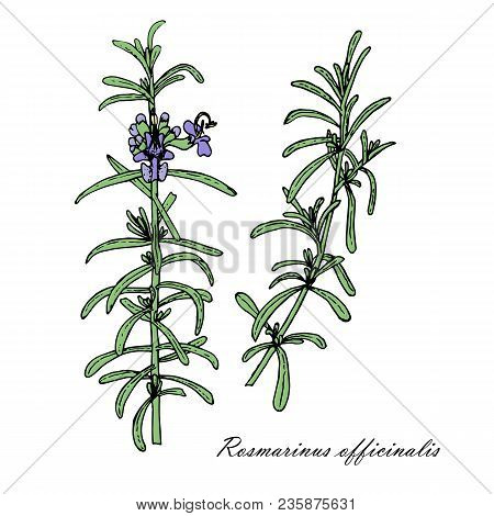 Rosemary Plant. Branches Of Medicinal Plant Rosemary. Hand Drawn Colorful Stock Vector Illustration,