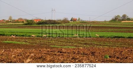 roe in the field