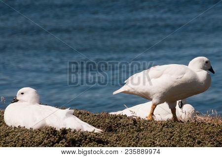 Three Kelp Geese On The Beach At Carcass Island