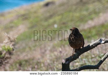 The Falkland Thrush Is Widespread And Common Throughout The Falklands. It Is Able To Utilise A Wide