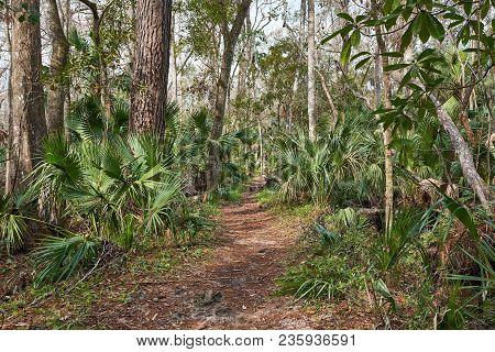 A Path Leading Through The Forest In Florida. Palmettos And Trees Line The Trail.