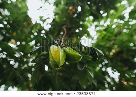 Close-up View Of Green Carambola Fruit Growing On Tree, Hoi An, Vietnam