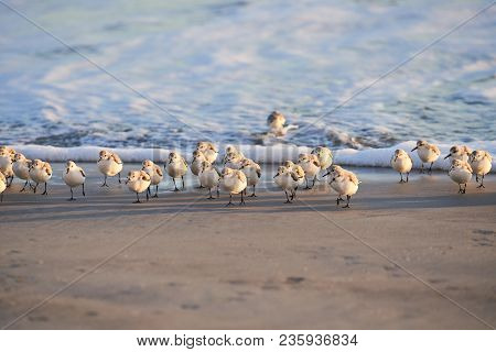 A Flock Of Birds That Is Walking Away From The Water On A Sandy Beach. The Water Is Calm, Frothy, An