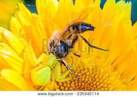A Yellow Spider Crab Caught A Large Hoverfly On A Blossoming Flower