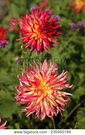 Pink Dahlia flower in the botany garden poster