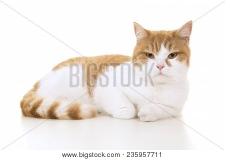 Red And White British Shorthair Cat Seen From The Side Lying Down On A White Background