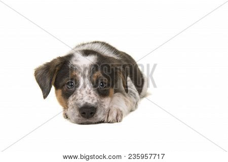 Cute Australian Shepherd Australian Cattle Dog Mix Puppy Lying Down With Its Head On The Floor Looki
