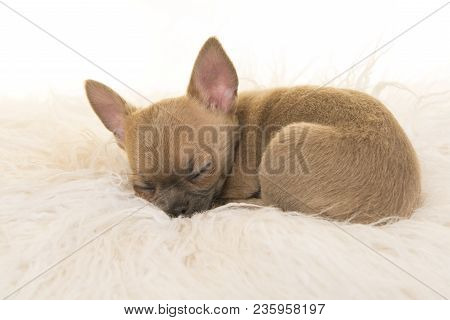 Cute Chihuahua Puppy Lying Down Sleeping On A White Fur On A White Background