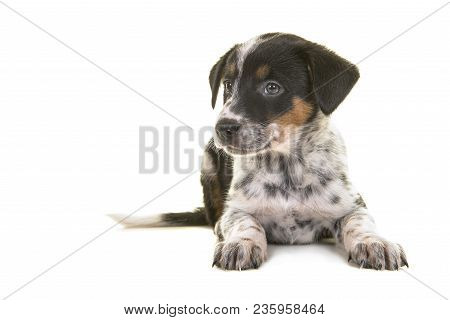 Cute Australian Shepherd Australian Cattle Dog Mix Puppy Lying Down Looking To The Left On A White B