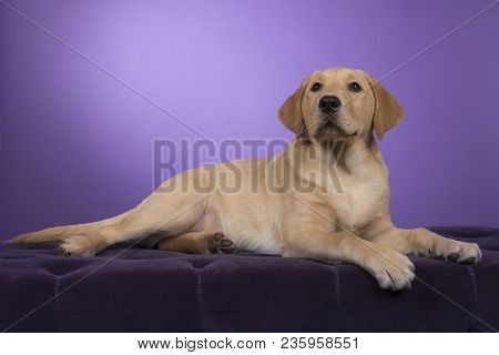 Blond Labrador Retriever Lying Down On A Purple Pouf Looking Up A On A Purple Background
