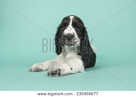 Cute Black And White Cocker Spaniel Puppy Lying Down Looking At The Camera On A Turquoise Blue Backg