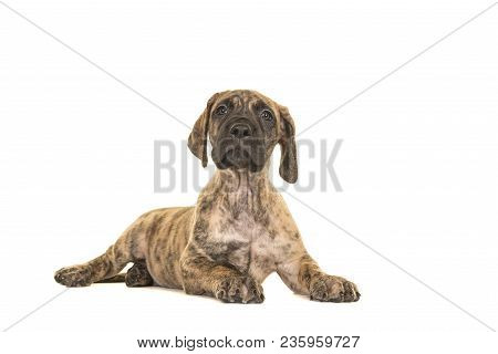 Cute Brindle Great Dane Puppy Lying Down Looking Up Isolated On A White Background