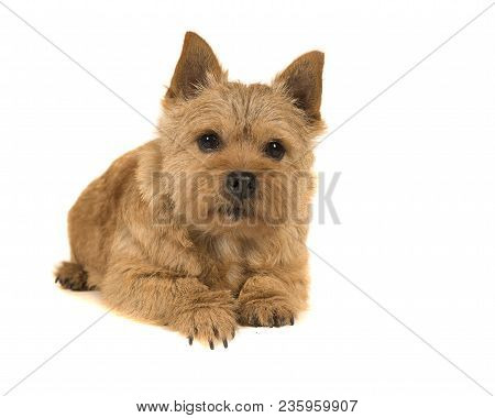 Cute Norwich Terrier Lying Down Seen From The Front Isolated On A White Background