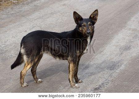 Black Big Dog Stands On A Gray Asphalt