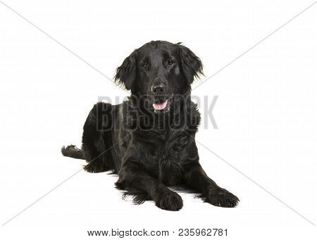 Black Flatcoat Retriever Dog Lying Down Looking At Camera On A White Background