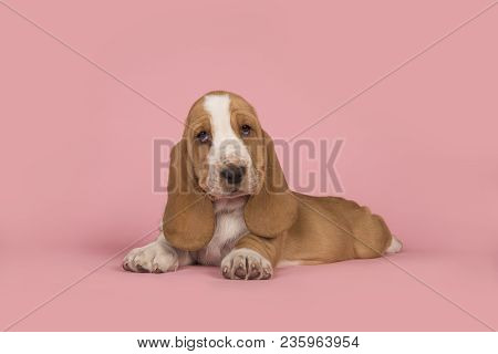 Cute Lying Down Tan And White Basset Hound Puppy On A Pink Background Looking At The Camera