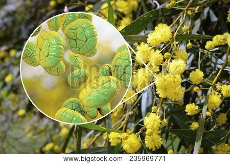 Mimosa Pollen, Close-up View, 3d Illustration, And Photo Of Mimosa Flowers. Pollen Is A Factor Causi