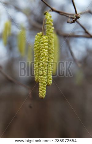 Hazel Catkins On A Branch In Early Spring.