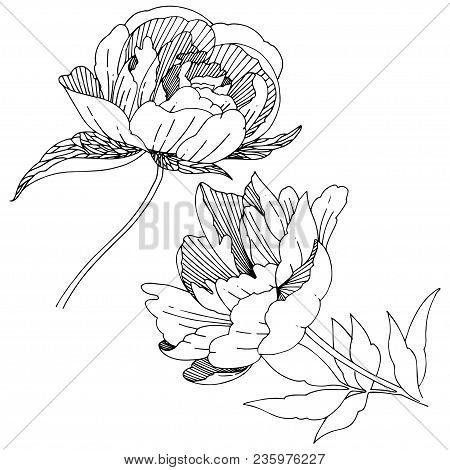 Wildflower Peony Flower In A Vector Style Isolated. Full Name Of The Plant: Peony. Vector Wildflower