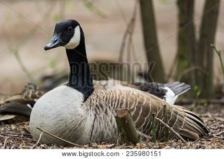 Close-up Of A Breeding Canada Goose. View To A Breeding Canada Goose (branta Canadensis) In Spring.