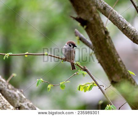 Eurasian Tree Sparrow (passer Montanus) Sitting On A Branch