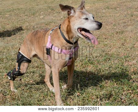 Happy active older boxer mixed breed dog with orthotic brace panting and squinting from bright sunlight