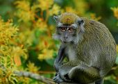 Long-tailed Macaque sitting amongst yellow flowers in Borneo. poster