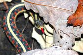 This red-sided garter snake was found in some leaf litter on a late fall day. poster