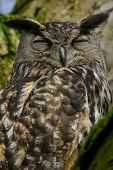 A portrait eurasian eagle-owl snoozing in a tree. Also known as European eagle-owl or eagle-owl. (Bubo bubo) poster