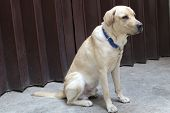 A Golden Retriever Labrador sitting on watch poster