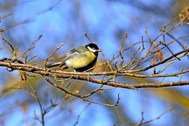 Great Tit, Parus Major, Small Bird Of The Titmouse Order