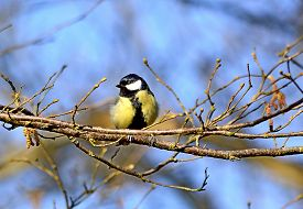 Great Tit, Latin Name Parus Major, Small Bird Of The Titmouse Order