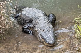 A Large Alligator Crawls From The Water.