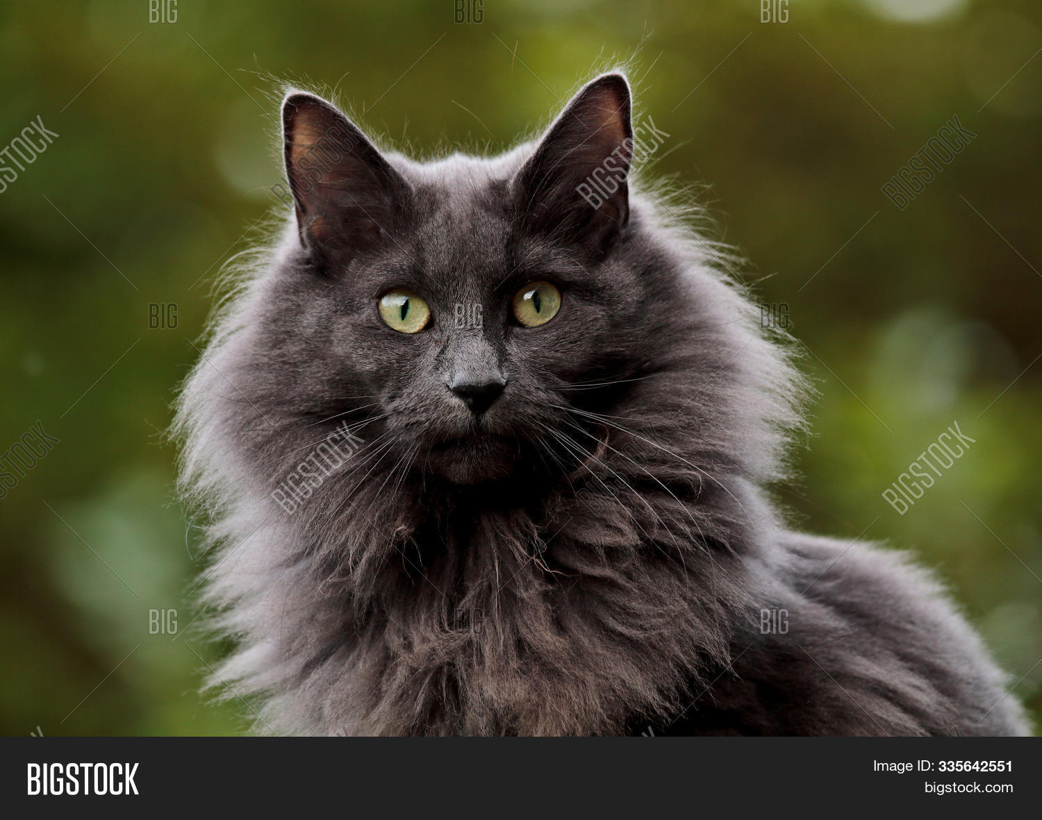 Blue Norwegian Forest Image Photo Free Trial Bigstock
