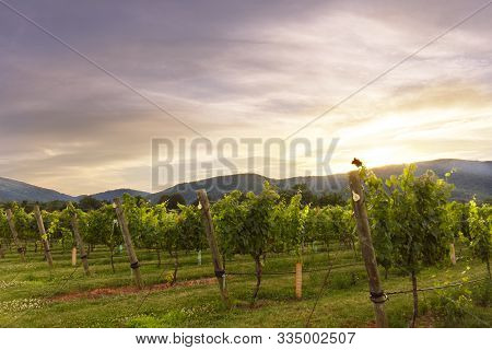 Central Virginia Winery At Dusk Mid-summer With Grapes On The Vine