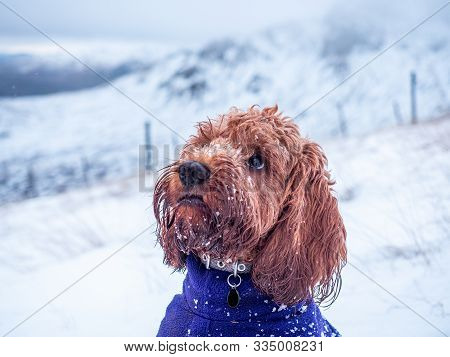 Cockapoo Puppy Looking At Owner