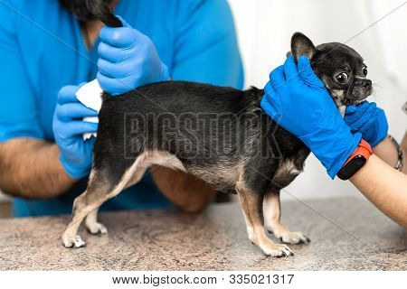 Veterinarians Clean The Paraanal Glands Of A Dog In A Veterinary Clinic. A Necessary Procedure For T
