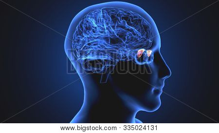 3d Rendered Medically Accurate Illustration Of The Brain Anatomy - The Medial Globus Padillus