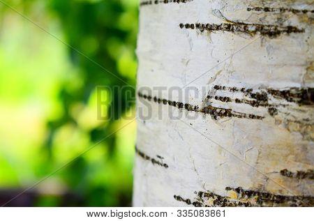 Young Juicy Birch Trunk (betula Pendula, Silver Birch, European White Birch) In Spring Sunny Outdoor
