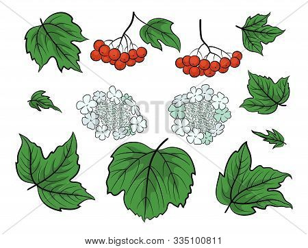 Set Of Viburnum, Green Leaves, Red Berries And White Flowers, Isolated On White. Vector