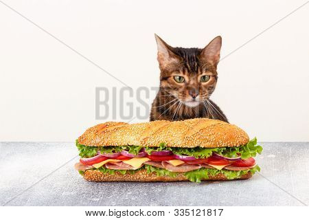 Cat Looks At The Big Sandwich With A Hungry Look. The Concept Of Improper Feeding Of Pets. Gluttony.