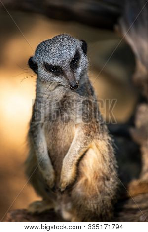 Full Body Of Adult Standing Meerkat. Photography Of Lively Nature And Wildlife.
