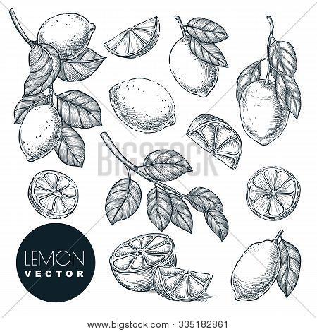 Lemon Citrus Tropical Fruits Set. Hand Drawn Sketch Vector Illustration. Lime Harvest On Branch. Cit