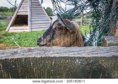 Goat in enclosure in Glaznoty, small village in Masuria region of Poland poster