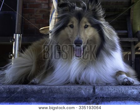 Beautiful Rough Coasted Sable Collie Sitting By The Swimming Pool