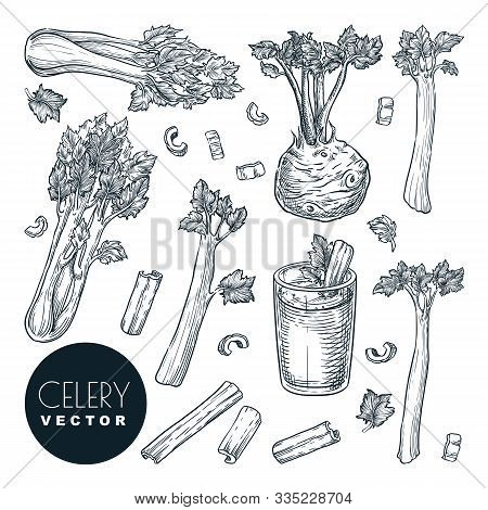 Celery Stalks And Root, Isolated On White Background. Sketch Vector Illustration. Green Fresh Salad