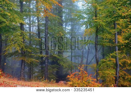 Forest Scenery On A Hazy Autumn Day. Trees In Colorful Foliage. Mysterious Atmosphere.