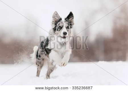 Happy Border Collie Dog Running In The Snow